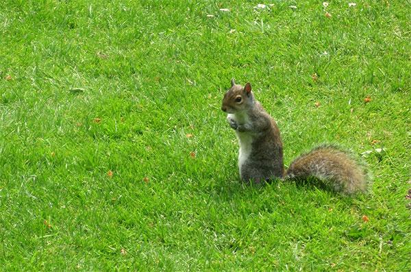 Mühsam nährt sich das Eichhörnchen